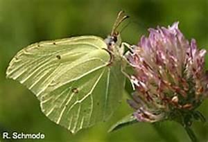 Schmetterlinge überwintern Helfen : tagfalterkartierung nabu ~ Frokenaadalensverden.com Haus und Dekorationen