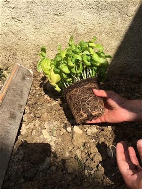 repiquer un plant de basilic en pleine terre