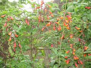 Blühende Kletterpflanzen Winterhart Mehrjährig : ywegtvyy winterhart sommerblumen mehrjaehrig winterharte ~ Michelbontemps.com Haus und Dekorationen