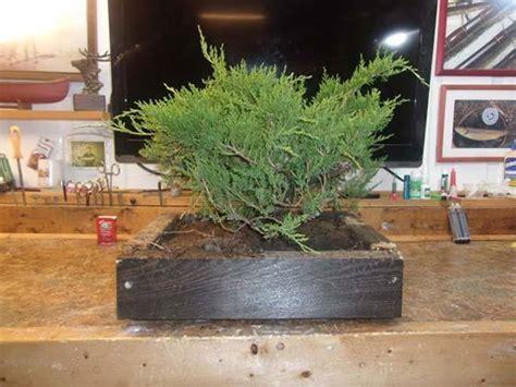 lowes juniper   year bonsai nut