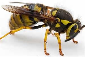 Wasp Hornet Yellow Jacket vs Bee