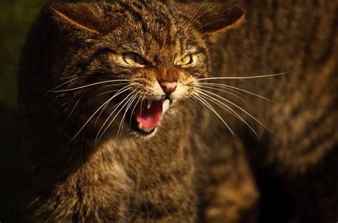 wildcat scottish wildcats species kittens adrian bennett endangered aberdeenshire project could extinction haven conservation save its breed pure unearthed strongholds