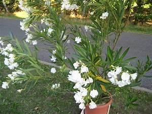 Rosenrost Was Tun : oleander vermehren flower power pinterest ~ Lizthompson.info Haus und Dekorationen