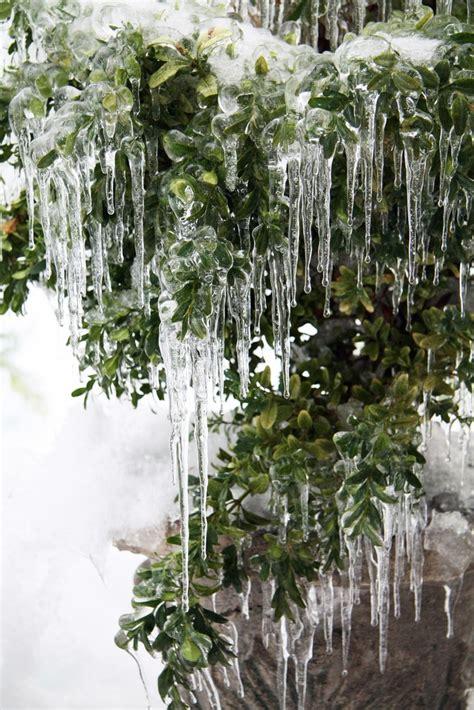 icicles green pine tree