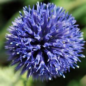 calendula flowers australian seed echinops ritro violet
