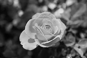 Black And White Rose Wallpaper 2 Free Wallpaper ...
