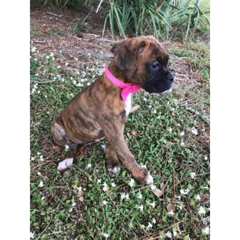 akc boxer puppies  male  females   fort