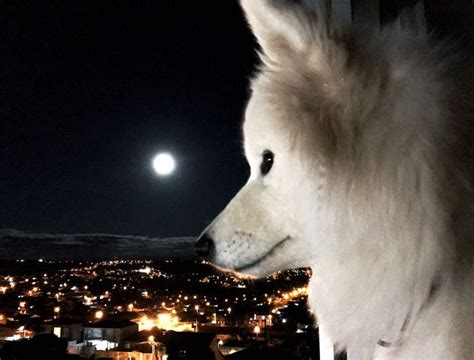 17 Best Images About Samoyed Dogs On Pinterest Beautiful