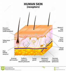 Human Skin Layers | www.pixshark.com - Images Galleries ...
