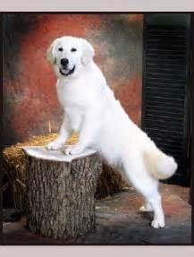 White English Cream Golden Retriever Puppies