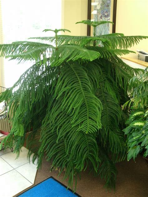 norfolk pine featured indoor plant indoor plants norfolk pine plants