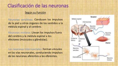 cuadros comparativos entre las neuronas motoras  sensitivas cuadro comparativo