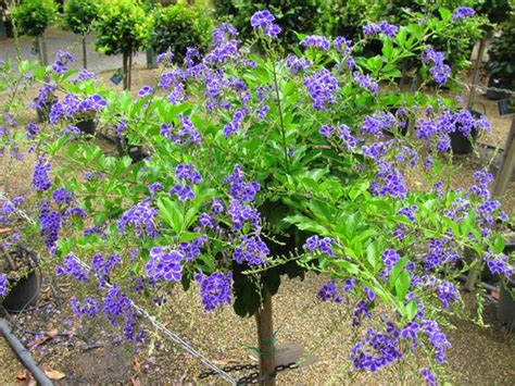 Cool Product Alert The Petunia Sky Plant by Flowering Shrubs And Vines Sky Flower