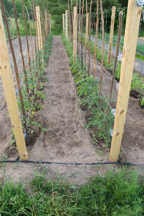 tomato tips   season kicks  high gear