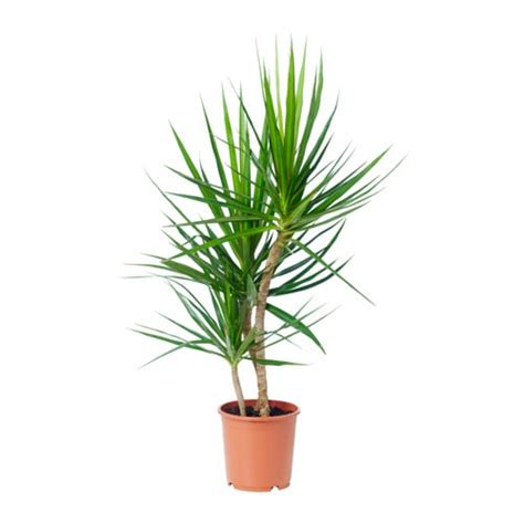 Dracaena Marginata Potted Plant Ikea Interiors Inside Ideas Interiors design about Everything [magnanprojects.com]