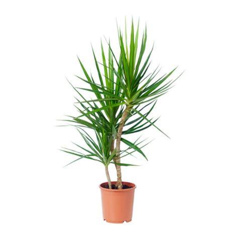 small dining room furniture dracaena marginata potted plant ikea