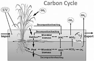 A Generalized Depiction Of The Carbon Cycle In Wetlands