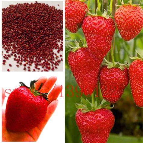 strawberry seeds 500 pcs milk strawberry seeds super big strawberries seeds flower seed garden supply perfume