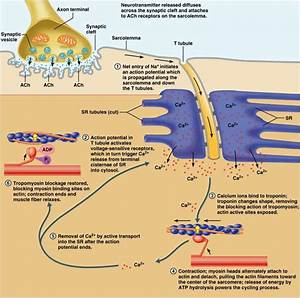 Image Gallery muscle contraction