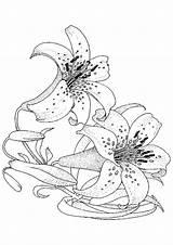 Lily Coloring Visitar Adult Stargazer sketch template