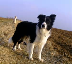 Large Dog Breeds That Dont Shed by Border Collie Hunderasse B Hundeseite De