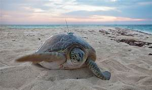 Sea Turtles Benefiting from Protected Areas—Study Offers ...