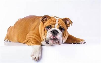 Bulldog English Bulldogs Computer Ga Wallpapersafari Cool