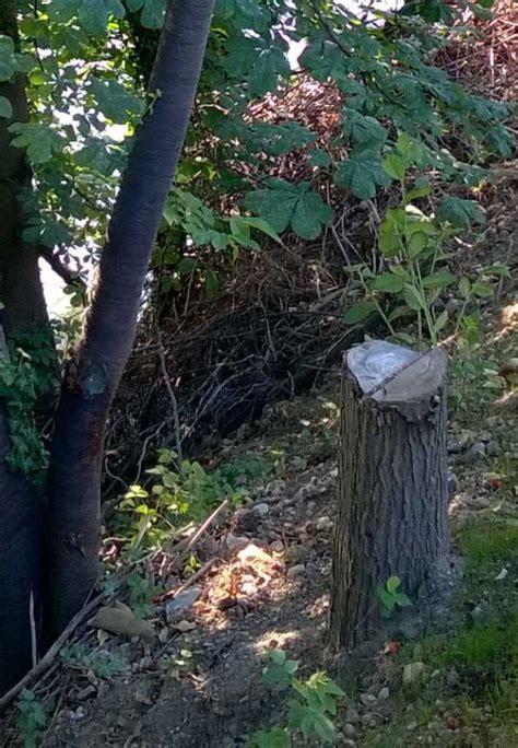 Besondere Bäume Für Den Garten by Baumstock Mit Austrieb Baumkunde Forum