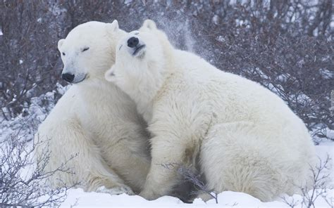 Niedźwiedzie, Polarne, Przytulenie