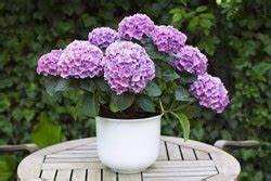 Hortensien überwintern Im Garten : hortensien im k bel berwintern so wird s gemacht ~ Frokenaadalensverden.com Haus und Dekorationen