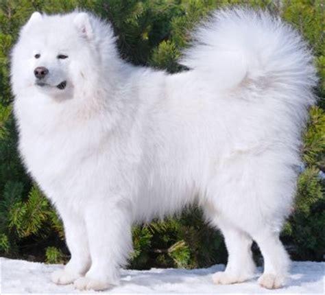 do samoyeds shed more than huskies samoyed breed info characteristics glomerulopathy