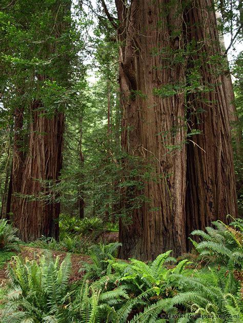 tall trees trail redwood national park hawkebackpackingcom