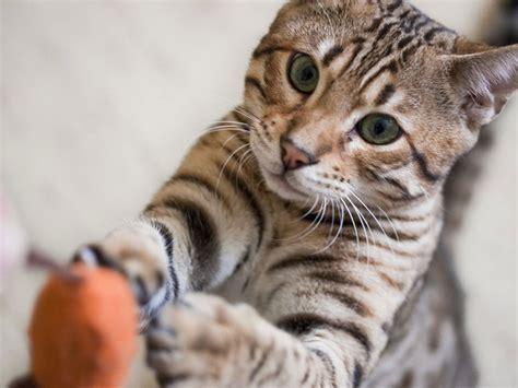bengal cats cute cats