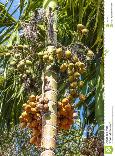 vea sylvatica palm areca catechu royalty  stock