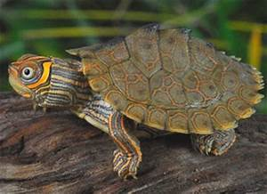 Mississippi Map Turtle Care Sheet | Reptile Centre
