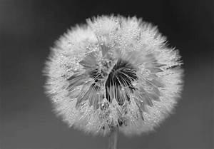 Pusteblume Schwarz Weiß Vögel : pusteblume forum f r naturfotografen ~ Orissabook.com Haus und Dekorationen