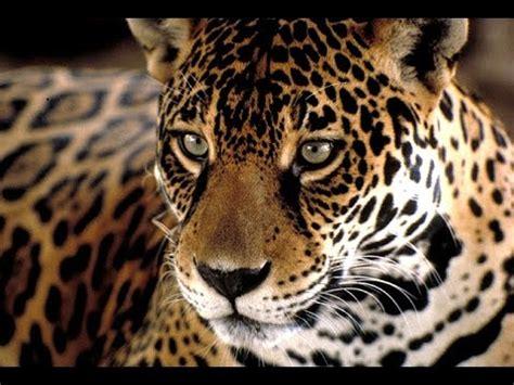 documental animales en peligro de extincion el jaguar