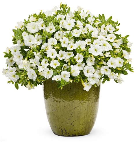 pictures of flowers in pots flowering annuals thank you very mulch