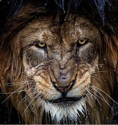 Lion Water Portrait Animals Nature Cats Tiger