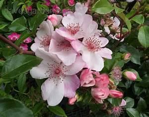 Sweet Pretty Rose : plantfiles pictures floribunda shrub rose 39 the charlatan 39 rosa by kell ~ A.2002-acura-tl-radio.info Haus und Dekorationen