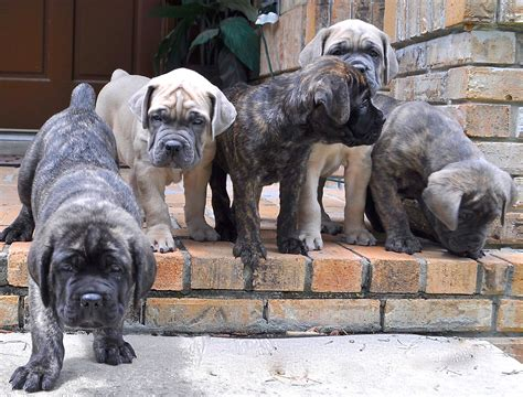 cane corso puppies wallpaper  hd puppy images