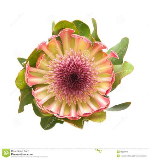 witte protea bloemen roze protea stock foto afbeelding bestaande uit blooming