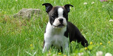 boston terrier shedding boston terrier information characteristics facts names