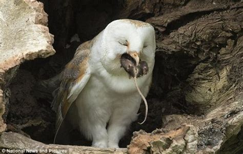 What Do Barn Owls Eat by What Do Owls Eat Owls Feeding Behavior And Diet