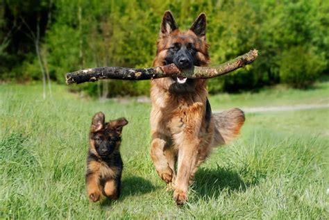 are german shepherds good dogs