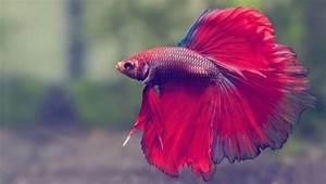 (44+) Most Beautiful Betta Fish in The World (AMAZING!)