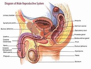 32 Label The Structures Of The Male Reproductive System