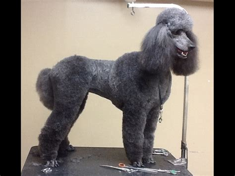 poodle puppies  alabama abounding poodles akc champion