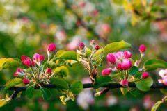 Hortensie Umpflanzen Im Topf : einen alten apfelbaum schneiden so machen sie 39 s richtig ~ Orissabook.com Haus und Dekorationen