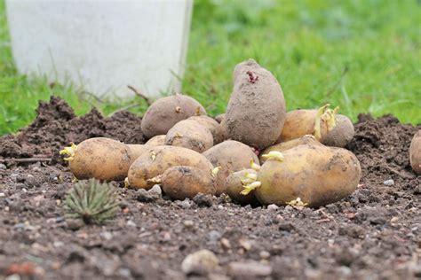 kartoffeln wann pflanzen wann ist der beste zeitpunkt zum pflanzen kartoffeln